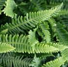 Blechnum spicant (hard fern , deer fern)