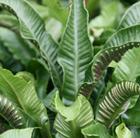 Asplenium scolopendrium (hart's tongue fern /  horse tongue)