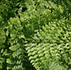 Polystichum setiferum (Divisilobum Group) 'Herrenhausen' (soft shield fern)