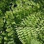 Polystichum setiferum (Divisilobum Group) 'Herrenhausen' (soft shield fern)