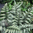 Athyrium niponicum var. pictum (Japanese painted fern)