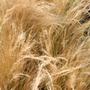 Stipa tenuissima (stipa ( syn. Stipa tenuifolia ))