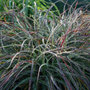 Luzula nivea (snowy woodrush)
