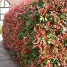 Photinia x fraseri 'Red Robin' (photinia)