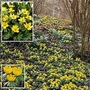 Winter Aconite 24 bulbs