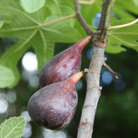 fig 'Brown Turkey' (fig)
