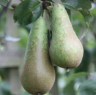 pear 'Conference' (pear)