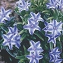 Lithodora Star 1 potted plant