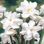 Narcissus Poeticus Plenus 5 bulbs