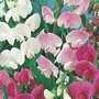 Everlasting Sweet Pea 10 plants in 5cm pots
