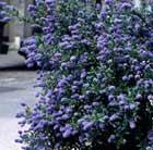 Ceanothus thyrsiflorus 'Skylark' (Californian lilac)