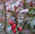 Berberis thunbergii f. atropurpurea 'Atropurpurea Nana' (barberry)