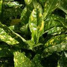 Aucuba japonica 'Crotonifolia' (Japanese spotted laurel)