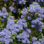 Ceanothus 'Concha' (Californian lilac)