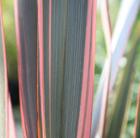Phormium 'Sundowner' (New Zealand flax)