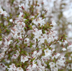 Prunus incisa 'Kojo no mai' (Fuji cherry)