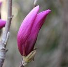 Magnolia 'Susan' (magnolia)