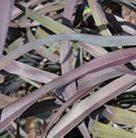 Phormium 'Platt's Black' (New Zealand flax)