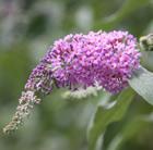Buddleja 'Pink Delight' (butterfly bush)