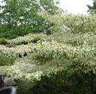 Cornus controversa 'Variegata' (wedding cake tree)