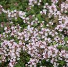 Thymus serpyllum 'Pink Chintz' (thyme)