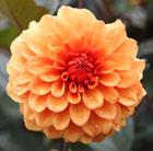 Dahlia 'David Howard' (dahlia)