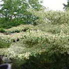 Cornus controversa 'Variegata' (wedding cake tree)