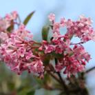 Viburnum x  bodnantense 'Dawn' (viburnum)
