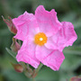 Cistus x argenteus 'Silver Pink' (rock rose)