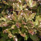 Pittosporum tenuifolium 'Tom Thumb' (kohehu)