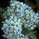 Olearia x haastii (daisy bush)