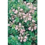 Escallonia Appleblossom x 1 litre
