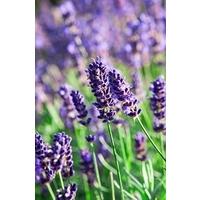 English Lavender Hidcote Blue  1 Litre Pot