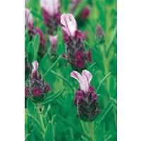 French Lavender Kew Red x 1 Litre Pot