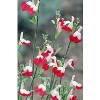 Salvia Hot Lips x 1 litre