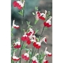 Salvia Hot Lips x 1 litre