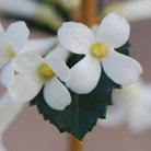 Osmanthus delavayi (osmanthus)