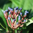 Viburnum davidii (viburnum)