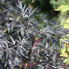 Sambucus nigra f. porphyrophylla 'Eva' (PBR) (black elder  (syn. Black Lace))