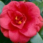 Camellia japonica 'Adolphe Audusson' (camellia)