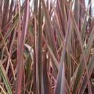 Phormium 'Maori Queen' (New Zealand flax (Phormium Rainbow Queen))
