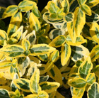 Euonymus fortunei 'Emerald 'n' Gold' (evergreen bittersweet)