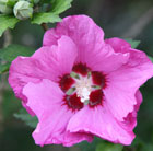 Hibiscus syriacus 'Woodbridge' (tree hollyhock)