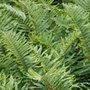 Polystichum munitum (sword fern)
