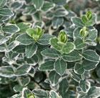 Euonymus fortunei 'Emerald Gaiety' (evergreen bittersweet)