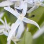 Amsonia tabernaemontana var. salicifolia (amsonia)