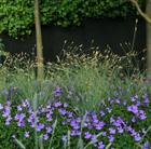 Sesleria nitida (nest moor grass)