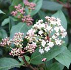 Viburnum tinus 'Eve Price' (laurustinus)