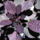 Cotinus coggygria 'Royal Purple' (smoke bush)