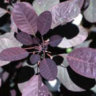 Cotinus coggygria 'Royal Purple' (smoke bush)